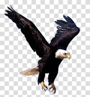 Eagle , flying eagle , free PNG clipart
