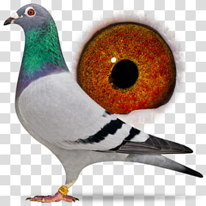 Racing Homer Homing pigeon Columbidae Beak Pigeon racing, Bird PNG clipart