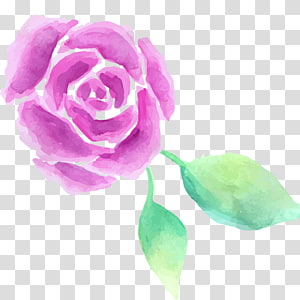 Garden roses Centifolia roses Watercolor painting, Watercolor flowers PNG