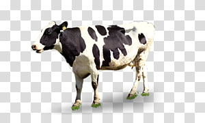 black and white cow, Dairy cattle Milk, Dairy cow PNG
