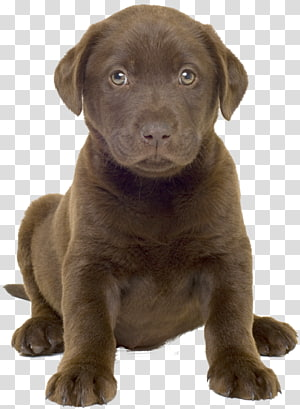 Labrador Retriever Puppy Golden Retriever Labrador Husky German Shepherd, puppy PNG